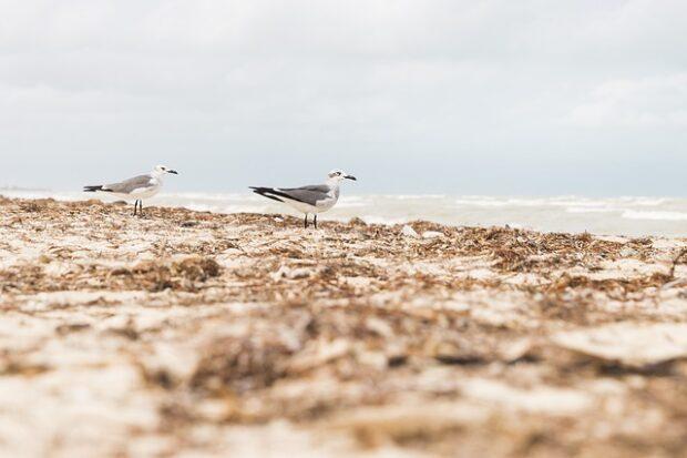 Barahona realiza limpieza de algas costeras